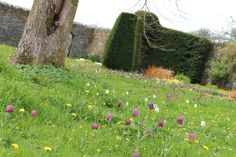 Fritillary Lawn at Buckland Abbey Devon