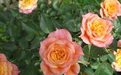 Rosen pflegen im Juni, Juli und August