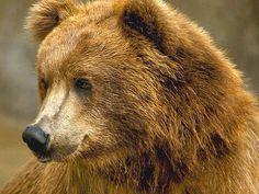 Brown Kodiak Brown Bear