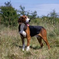 Deer hunting dog breeds - photo#7