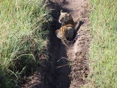 Leopard Cub on the road in the Serengeti, Tanzania, Africa