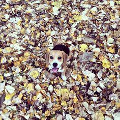 Autumn beagle <3