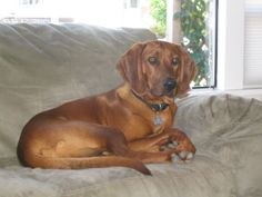 Redbone Coonhound, Maybe?