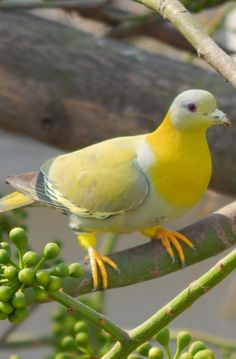 Yellow-footed Green Pigeon #nature #wildlife https://biopop.com/