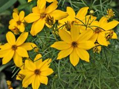 Coreopsis verticillata 'Golden Showers' is a threadleaf coreopsis that has sturdy stems and a long bloom period. Here are some tips for growing it.