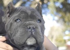 Phantom Cane He is beautiful Cane Corso Mastiff, Cane Corso Puppies, Cane Corso Dog, Horses And Dogs, Dogs And Puppies, Forever Puppy, Beautiful Dogs, Beautiful Things, Huge Dogs