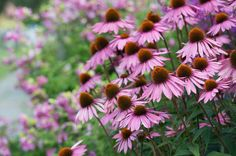 First choice for many gardeners! Echinacea Purpurea 'Rubinglow' is an outstanding short-stemmed variety of Coneflower with big, heavily petaled brilliant magenta flowers surrounding dark brown central cones.