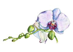 Orchid in watercolor by Watercolor_Vector Graphic on @creativemarket