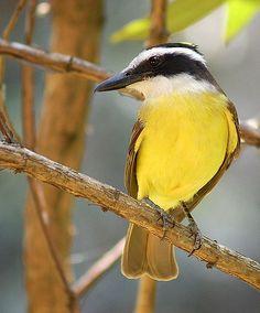 gorrioncillo pecho amarillo,,,,COSTA RICA.