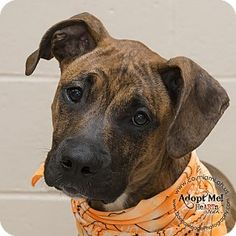 Urgent! I am at a full, high kill shelter in Troy, OH - Pit Bull Terrier Mix. Meet Finn, a dog for adoption. http://www.adoptapet.com/pet/16110138-troy-ohio-pit-bull-terrier-mix
