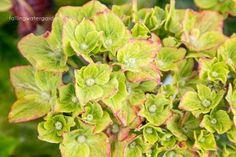 Add aluminum sulfate to the soil… Prune, Plants, Hydrangea, Soil, Flowers, Growing, Aluminium Sulfate