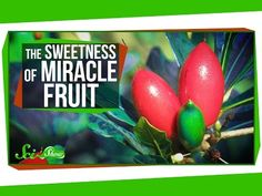 Miracle Fruit: How to Trick Your Taste Buds - YouTube