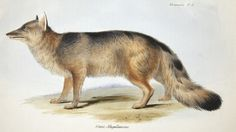 A fox from Part 2, Living Mammals, of Charles Darwin, Zoology of H.M.S. Beagle (1838-1843).  Now on display in the Living Library exhibit, History of Science Collections, University of Oklahoma Libraries.