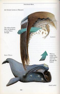 right whale, baleen, zooplankton, diagram
