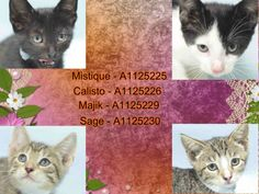 **MUST BE PULLED BY A NEW HOPE RESCUE**Sage –  A1125230  Majik – A1125229  Calisto – A1125226  Mistique – A1125225 – 7 week olds:Super Urgent Shelter Cats  These animals are either high risk, injured or have previously appeared on the To Be Destroyed list and survived. They are in danger of being on the list again or destroyed without any further notice.