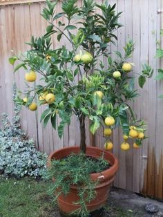 Citrus trees do not need pruning to fruit well (mature lemon trees benefit from a rejuvenation pruning every . Informations About Potatura Limone: come potare i limoni (e gli agrumi) in vaso Pin You Front Yard Landscaping, Backyard Patio, Landscaping Ideas, Garden Spaces, Garden Plants, Growing Lemon Trees, Lawn Edging, Citrus Trees, Plantar