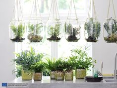 Hanging ferns in glass jars Foliage Plants, Air Plants, Flowering Plants, Fern Houseplant, Plants In Jars, Plant Containers, Little Gardens, Indoor Planters, Indoor Gardening