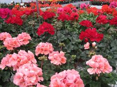 "WEEKLY SALE  May 21-25, 2013  6"" Geraniums  reg. $5.50  NOW $4.50 Family Business, Geraniums, Retail, Spring, Plants, Planters, Sleeve, Plant, Planting"