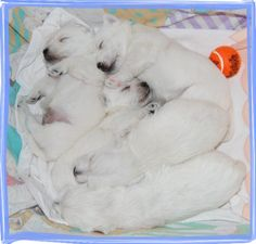 Puppies | WEST IN SHOW ~ Westies