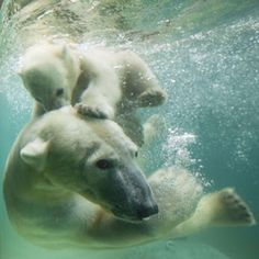 Polar bear Anori - half sister to Knut - plays underwater with her mother Vilma at Wuppertal Zoo, Germany Picture: Action Press / Rex Features (via Pictures of the day: 7 June 2012 - Telegraph) Animals And Pets, Baby Animals, Funny Animals, Cute Animals, Especie Animal, Mundo Animal, Beautiful Creatures, Animals Beautiful, Photo Animaliere