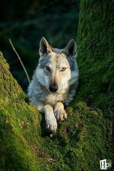 2017/05/06 Wolf