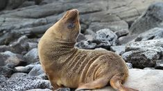 Visit the Galápagos Islands with G-Adventures Marine Adventures! Are sea lions, land iguanas, and giant tortoises your thing? See the South & East Islands aboard the Monserrat! Giant Tortoise, Turu, Galapagos Islands, G Adventures, South America Travel, Travel Tours, White Sand Beach, Adventure Travel, Traveling By Yourself
