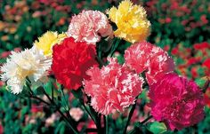 Carnation Flower Growing:Carnations are great winter season flowers and they can be cultivated as cut flowers especially in pots, raised beddings, edgings Growing Carnations, Pink Carnations, Growing Flowers, Winter Flowers In Season, Winter Season, Carnation Plants, Dianthus Caryophyllus, Flowers Perennials, Flower Market