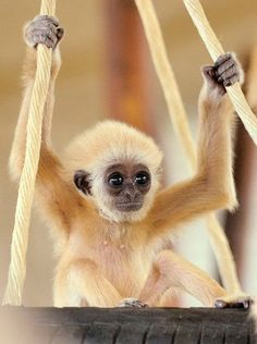 Baby Gibbon just makes us *squeee*