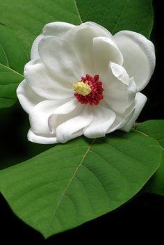 ~~Magnolia Sieboldiana by Dave Mills~~
