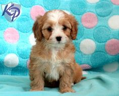 132 Best Cavapoo Puppies Images Cavapoo Puppies Cute Puppies