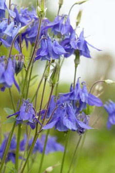 European columbine • Aquilegia vulgaris • Granny's nightcap • Common columbine, American bluebells, Granny's bonnet • Plants & Flowers • 99Roots.com