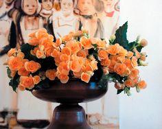 Pastel oranjekleurige Begonia.