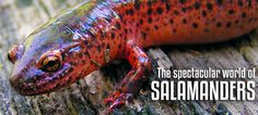 With more than 500 species, the salamander is a brightly-donned — and pretty cute — feat of nature. #animals #salamanders #photography