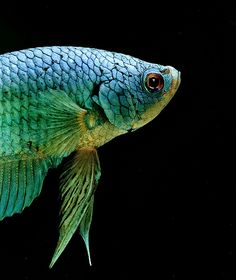 Siamese Fighting Fish (Met. Green)