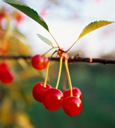 How to grow a cherry tree from seed or pit.