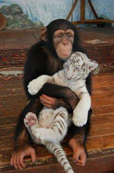 Tierfotos weißer Tiger und Affe