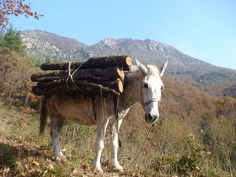 Working with the mules in the Greek mountains of Pindus,Ropoton,Trikala area,Thesally