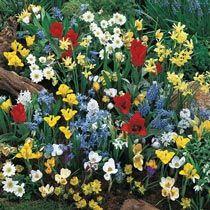 Buy Wildflower Bulb Garden Super Bag at Michigan Bulb Spring Garden, Bulb Flowers, Endless Blooms Perennial Garden, Daffodil Bulbs, Garden Bulbs, Perennial Garden, Wild Flowers, Flower Garden, Garden Pests