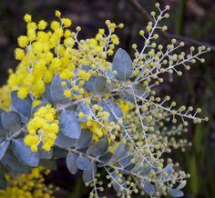 Silver Wattle (Acacia Podalyriifolia)  family - Mimosaceae, Queensland silver wattle