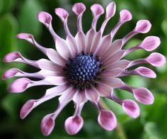 Остеоспермум (Osteospermum) – красивейшее декоративное растение родом из Африки. Оно похоже на ромашку или маргаритку, поэтому цветоводы часто называют его африканской ромашкой или капской маргариткой.