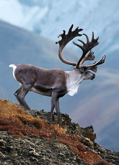 Photographer: Shane Lamb - Anita Smith Home Majestic Animals, Rare Animals, Animals And Pets, Strange Animals, Beautiful Creatures, Animals Beautiful, Caribou Hunting, Animals With Horns, Tier Fotos