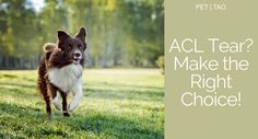 Make the Right Choice For Dog Torn Knee Ligaments Torn Ligament In Knee, Knee Ligaments, Acl Tear, Health Options, Make The Right Choice, Pet Health, Tao, Pet Care, Pets