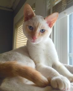 White flame point siamese kitten love these kinds of
