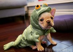 """""""Ribbet, Ribbet!...am I doing this right?"""", French Bulldog Puppy in a Frog costume."""