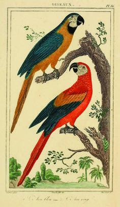 Antique parrot illustration from Oeuvres completes de Buffon. Atlas by Georges Louis Leclerc Buffon , comte de, 1707-1788. Publication info: Paris,1841. Biodiversity Heritage Library.