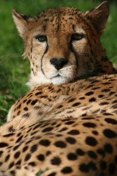 A Cheetah at Fota Wildlife Park