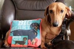 Well it's GIVEAWAY DAY!  Dachshund pillow and magnet.* Here's how it works. 1. Like the picture (this is where the names are drawn from) 2. Comment (that's how I get in touch with you) 3. Who poses better, me or the fake dog on the pillow? 4. Have fun, and share it with your friends, they might want to get in on the draw. ie. your partner? wink emoticon more likes more chances of winning.  *I am not included.