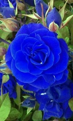 By Artist Unknown. Beautiful Rose Flowers, Exotic Flowers, Amazing Flowers, Beautiful Flowers, Rose Images, Rose Pictures, Most Popular Flowers, Aesthetic Roses, Blue And Purple Flowers