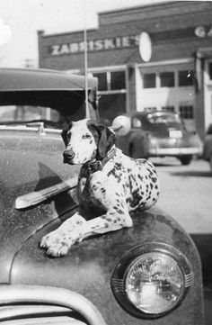 A dignified, absolutely darling dalmatian waiting on the hood of a car for its master to return.