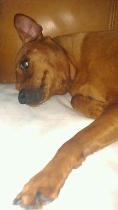 Pip, laying down--red miniature pinscher